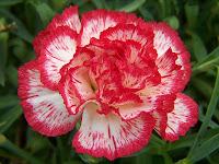 Kırmızı kenarlı beyaz karanfil çiçeği
