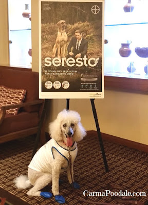 Poodle with #Seresto collar sign