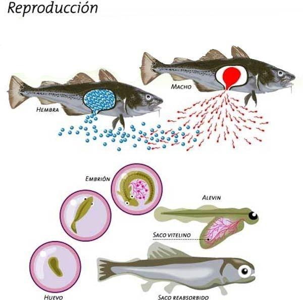 Cria de animales reproducci n y parto de los peces for Reproduccion en peces
