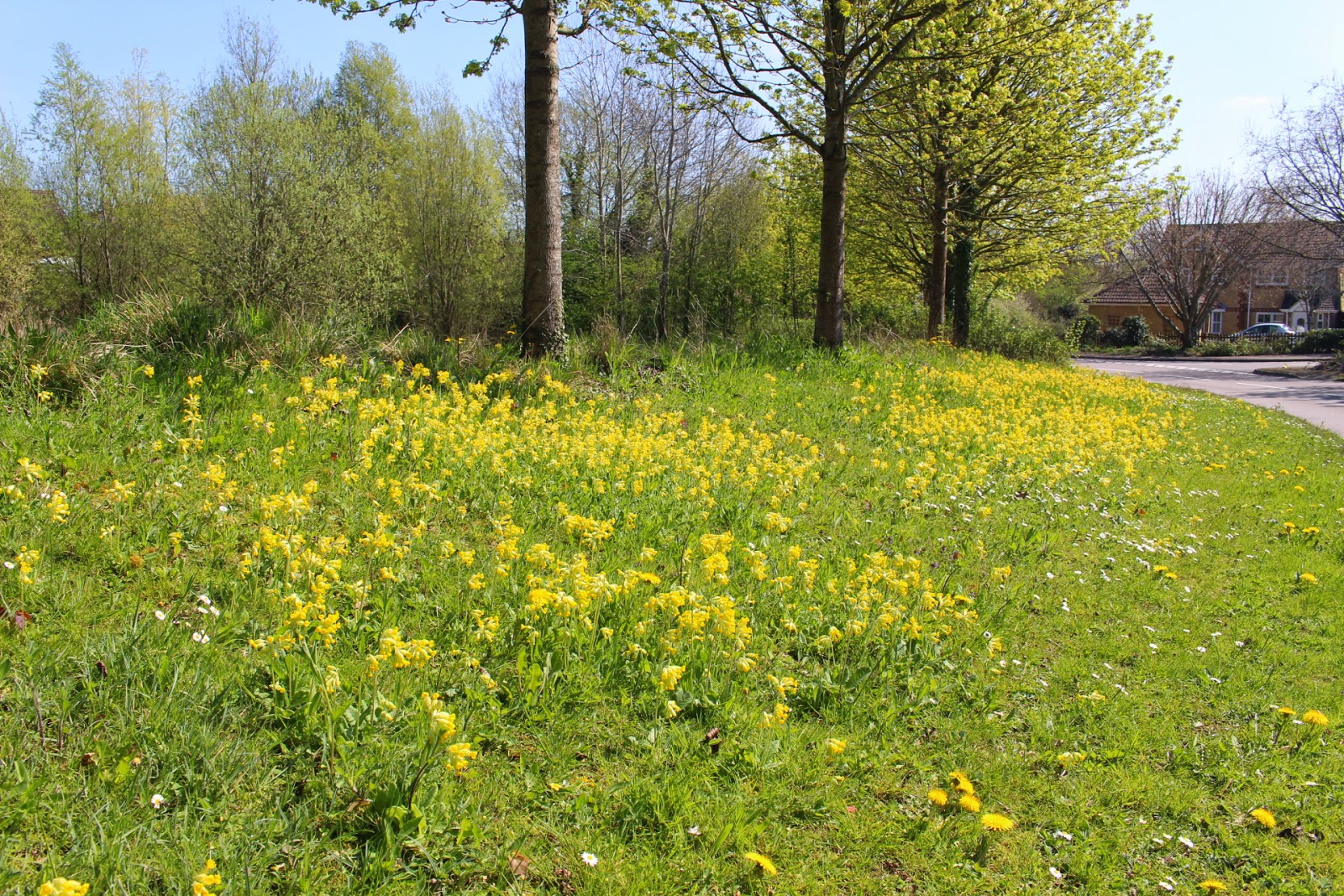The sheet of cowslips which greet us at the entrance of our estate