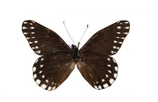 Spesies Kupu-kupu Baru ,  Catasticta sibyllae