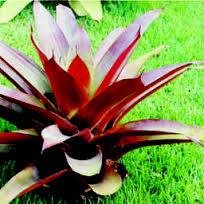contohpohonbromelia