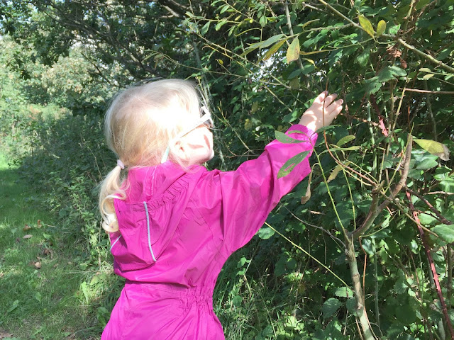 Tin Box Tot picking blackberries from a bush