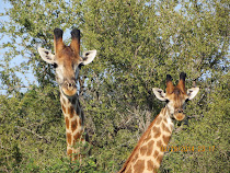 Peekaboo!  Giraffes watching from the bush, near Olifants Camp, Kruger Nat'l Park, South Africa