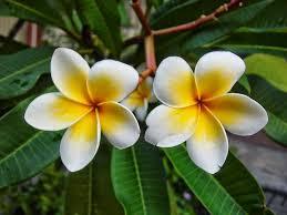 artikel bunga kamboja