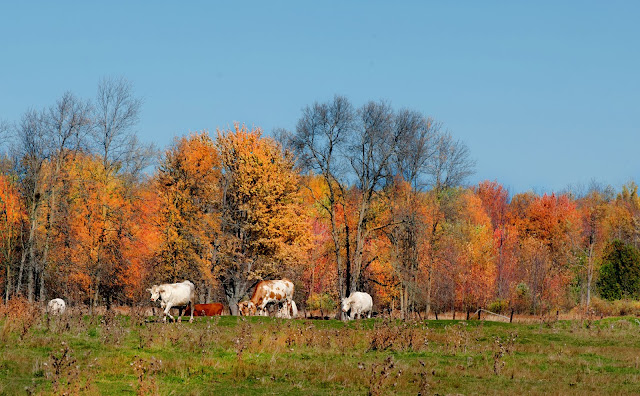 A farm field in autumn with grazing cows.