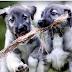 Γεννήθηκαν οι πρώτοι δίδυμοι σκύλοι...
