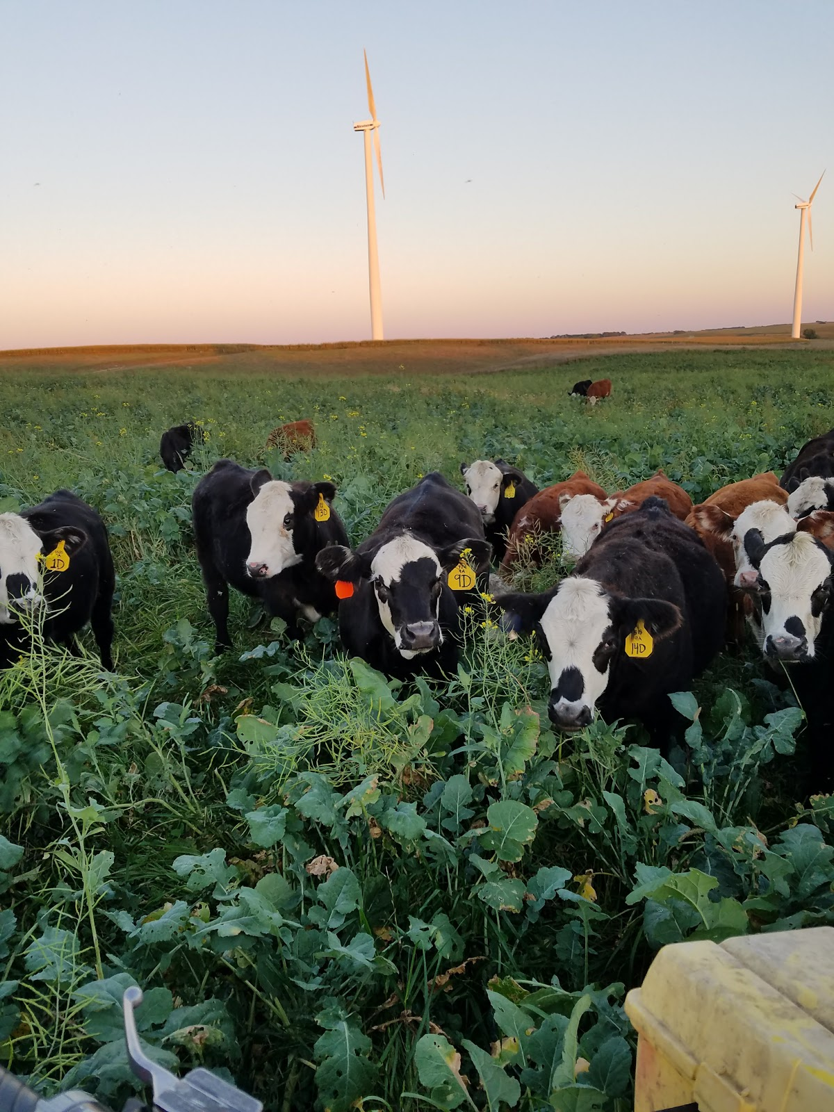 jwf inc grazing weaned calves on cover crops