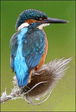 The Common Kingfisher