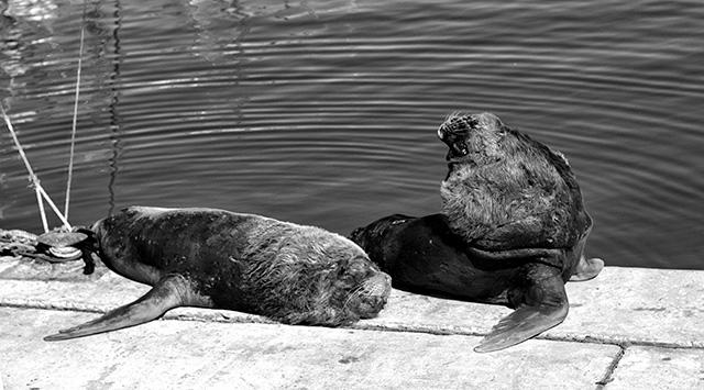 Dos lobos marinos al sol en la banquina de pescadores del puerto.