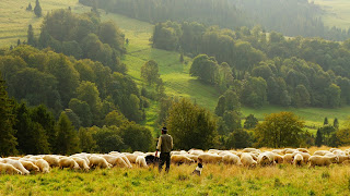 Shepherd and sheep in a green pasture