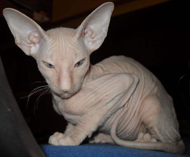 The Peterbald Cat salah satu kucing paling mahal di dunia