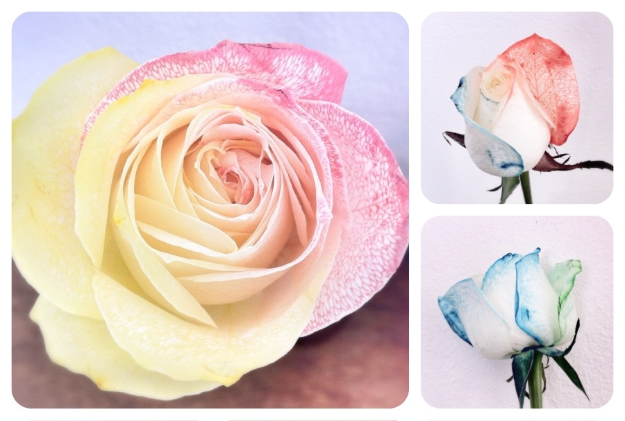 Tie Dyed Roses