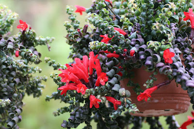 Lipstick Plant (Aeschynantus Radicans)