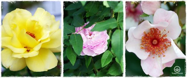 Gartenblog Topfgartenwelt Buchvorstellung: Traumhafte Landgärten durch die Jahreszeiten - Rosen im Garten