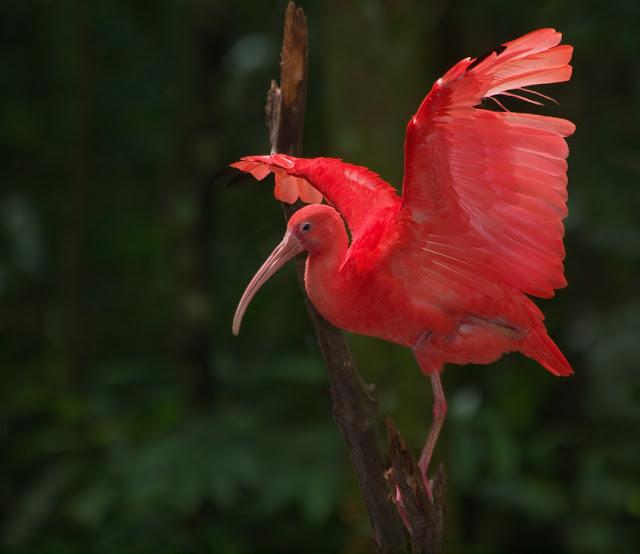 """Guará-vermelho –  (guará-piranga, guar-a-rubro, guará-pitanga (do tupi, """"ave vermelha"""") Ela está presente em Trinidad e Tobago (onde é a ave nacional) e na Colômbia, Venezuela, Guianas. Medindo de 50 a 60 cm, ele possui bico fino, longo e levemente curvado para baixo."""