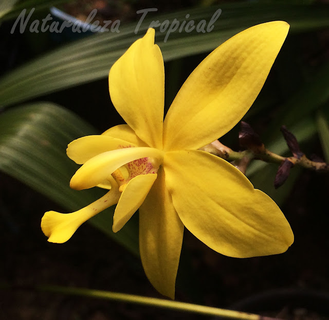 Flor característica de la orquídea terrestre Spathoglottis kimballiana