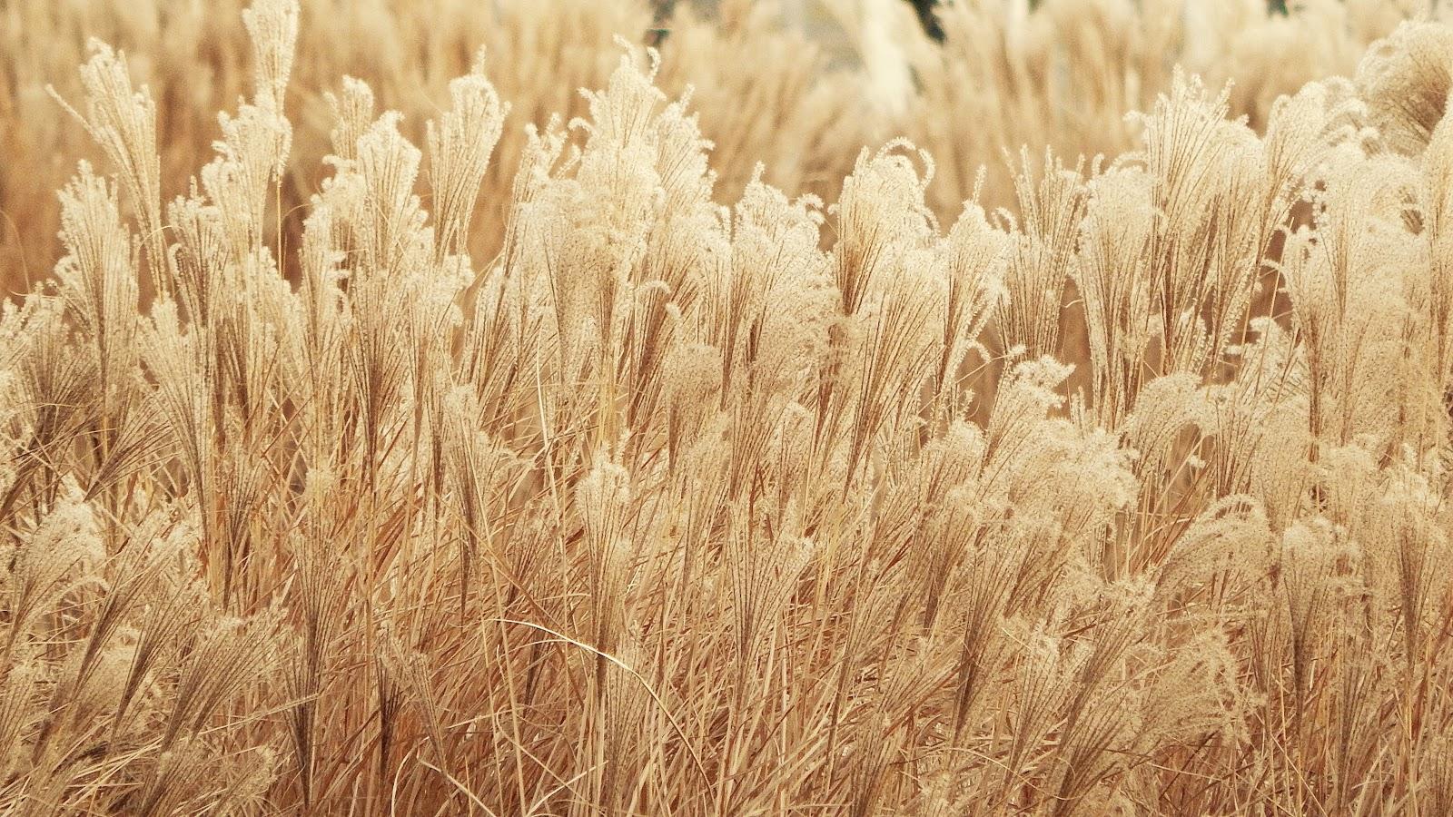 金色の麦の穂