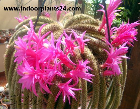 Aporocactus Flagelliformis Cactaceae plant