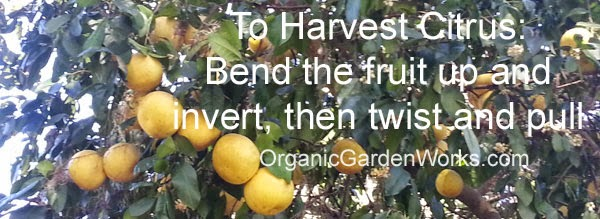 Best way to harvest grapefruit, organic, and all citrus