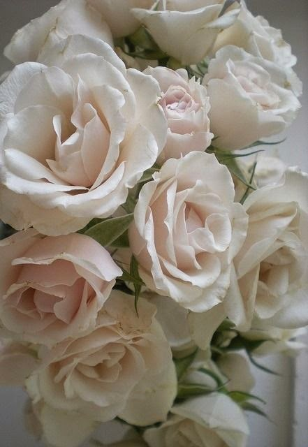 rose bianche fiori