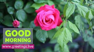 Pink-Rose-Flower-Good-Morning-green-Text