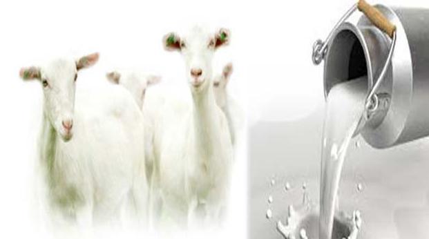 बकरी का दूध है लाभदायक