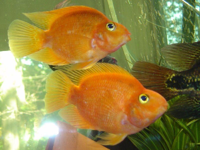 Gambar Ikan Parrot Betina Dan Jantan