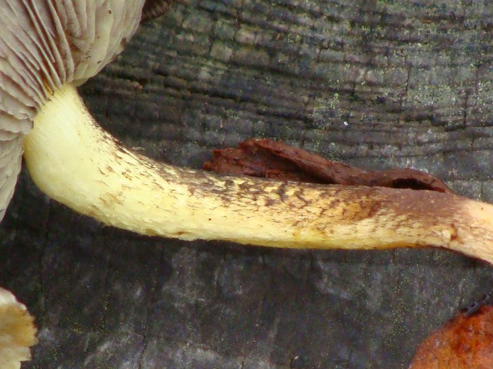 Hypholoma fasciculare DSC28742
