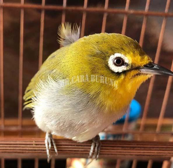 Sekilas Tentang Burung Pleci