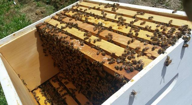Η πιο παραγωγική βασίλισσα του μελισσοκομείου μου: Έκοψα πολλές παραφυάδες από αυτή αλλά σήμερα δυστυχώς έφτασε...