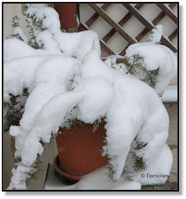 verschneiter Rosmarin