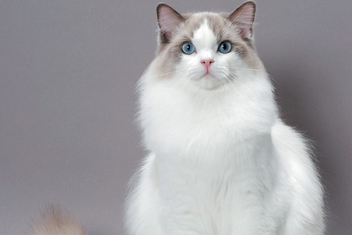 ragdoll-cats-elegant-and-cool-creatures-on-earth