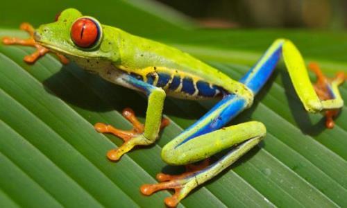 rana-de-ojos-rojos