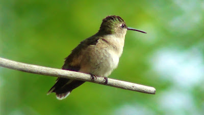 Green and beige Hummingbird perches quietly