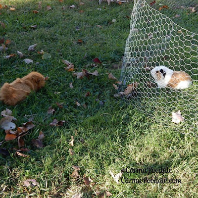 2 guinea pigs out in the yard