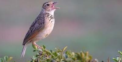 Tips Ampuh Merawat Burung Branjangan Agar Cepet Bunyi