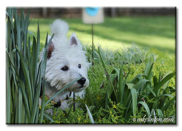Westie in garden