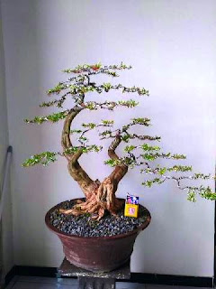 jual-bonsai-cendrawasih.jpg