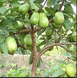Cara Mudah Untuk Mencangkok Pohon Jambu Sampai Berbuah Lebat Seputar Budidaya