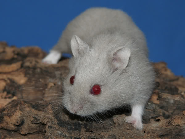 white dwarf hamster with red eyes - photo #19