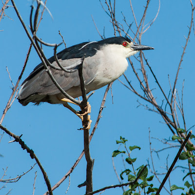 Black-crowned Night-Heron, Denver City Park