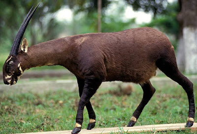 Saola - Animals That Start With S