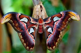 Sua seda, parecida com algodão, de cor marrom, é tida como de grande durabilidade e é conhecida como fagara. Na Índia, os casulos da mariposa-atlas são utilizados como bolsas em Taiwan.