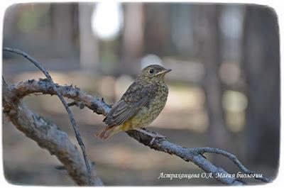 лето, слеток горихвостки, птенец, магия биологии, птица на ветке