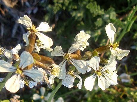 Rúcula (Eruca vesicaria) flor silvestre blanca