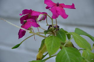 impatiens blight disease 2013