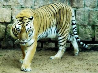 Tigre-de-bengala no Parque Zoológico de Sapucaia