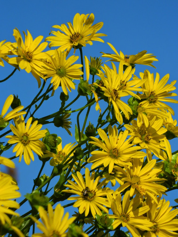 Cup plant Silphium perfoliatum by garden muses-not another Toronto gardening blog