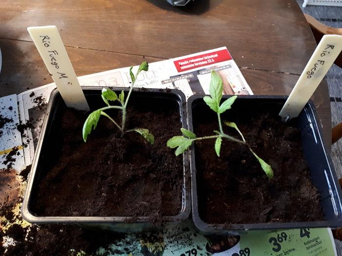 mykrritsatesti tomaatti